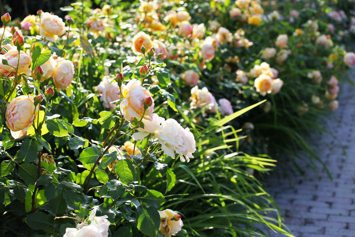 collezioni-uniche-rose-paghera (1)