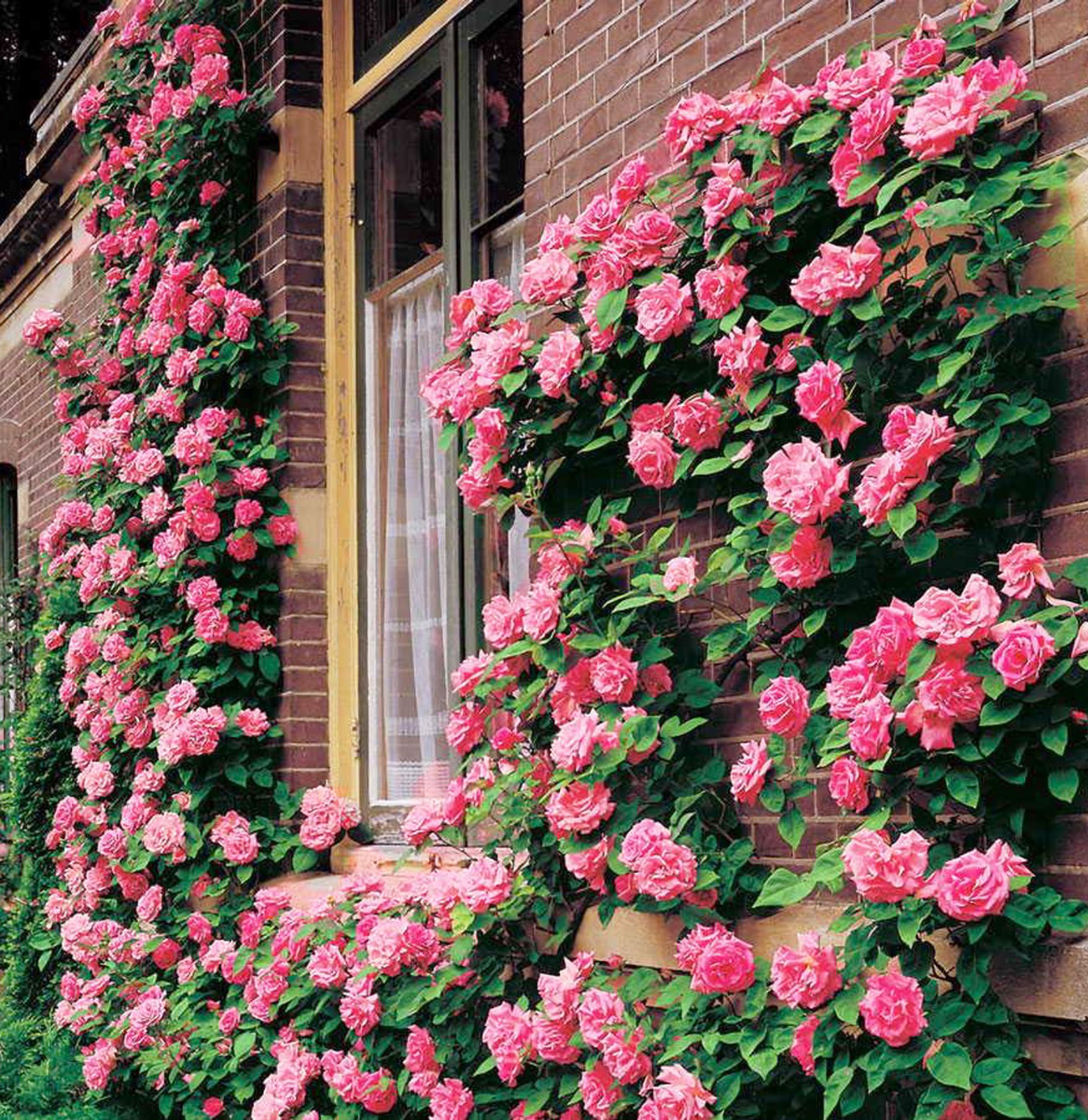 Rose paghera collezioni uniche per giardini da sogno - Giardino con rose ...